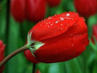 Собирать пазл Красный тюльпан онлайн