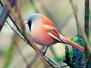 Собирать пазл Красно-серая птица онлайн