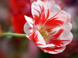 Собирать пазл Красно-белый тюльпан онлайн