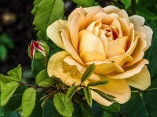 Собирать пазл Кремовая роза онлайн
