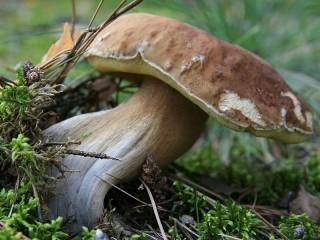 Собирать пазл Крепкий гриб онлайн