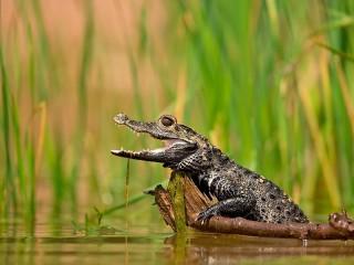Собирать пазл Крокодильчик онлайн