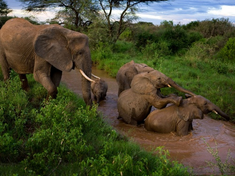 Пазл Собирать пазлы онлайн - Купание слонов