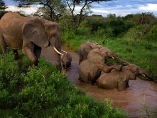 Собирать пазл Купание слонов онлайн