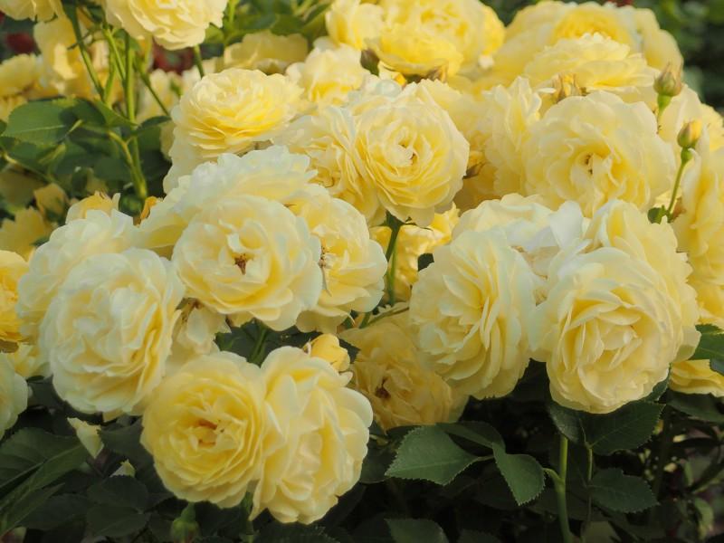 Пазл Собирать пазлы онлайн - Куст роз