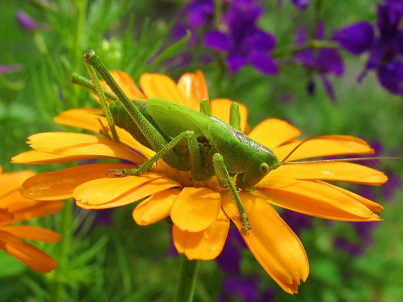Пазл Собирать пазлы онлайн - Кузнечик на цветке