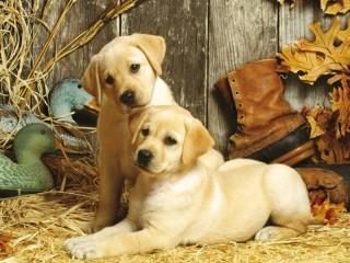 Собирать пазл Лабрадоры щенки онлайн