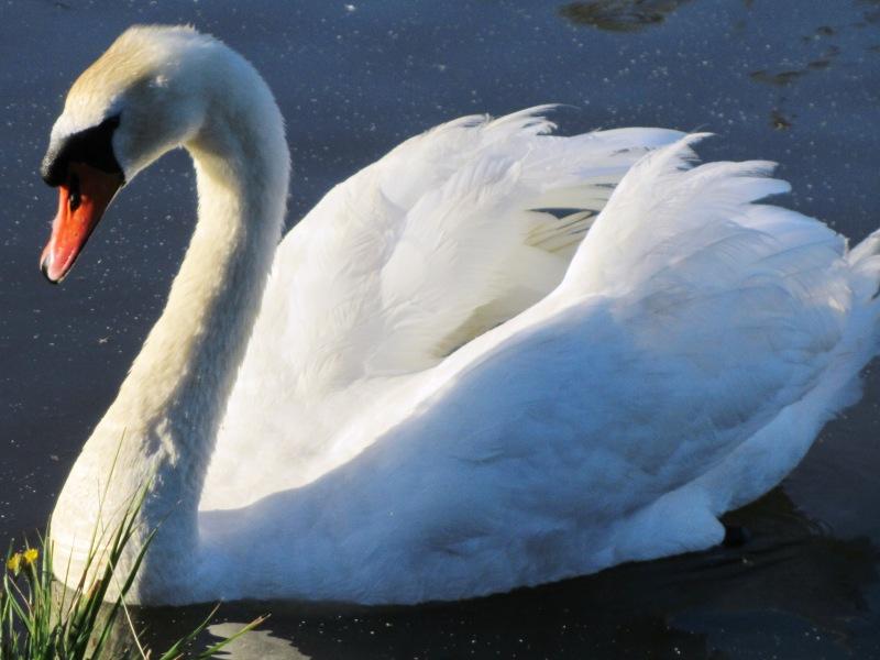 Пазл Собирать пазлы онлайн - Лебедь