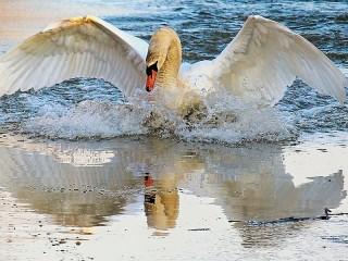 Собирать пазл Лебедь онлайн