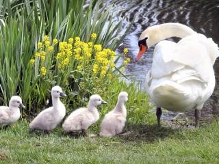 Собирать пазл Лебедь и птенцы онлайн