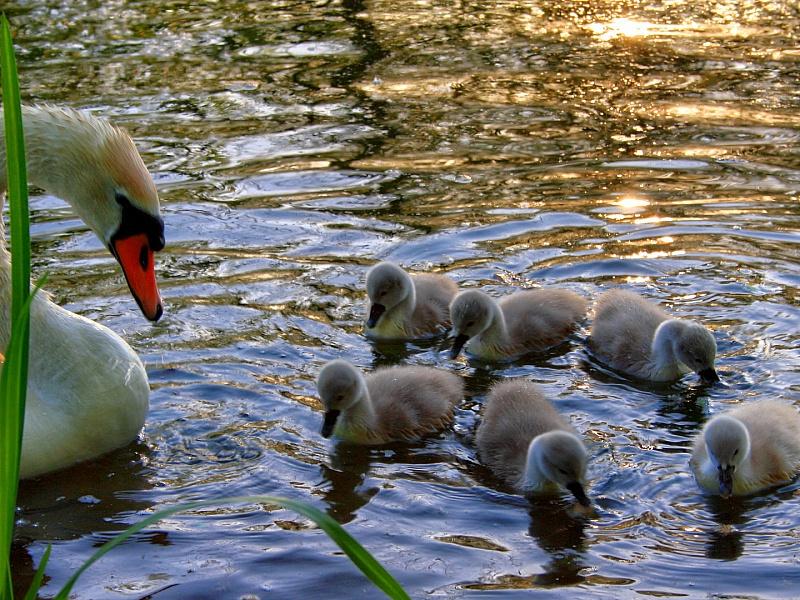 Пазл Собирать пазлы онлайн - Лебеди