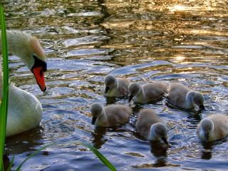 Собирать пазл Лебеди онлайн