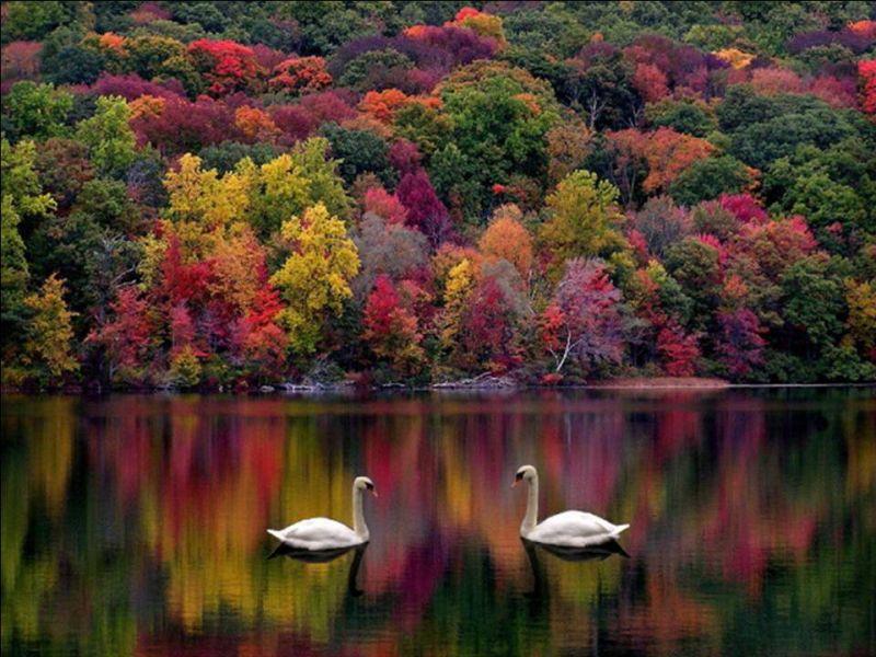 Пазл Собирать пазлы онлайн - Лебеди на озере