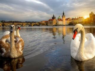 Собирать пазл Лебеди в Праге онлайн