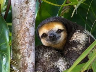 Собирать пазл Ленивец в джунглях онлайн