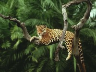 Собирать пазл Леопард на дереве онлайн