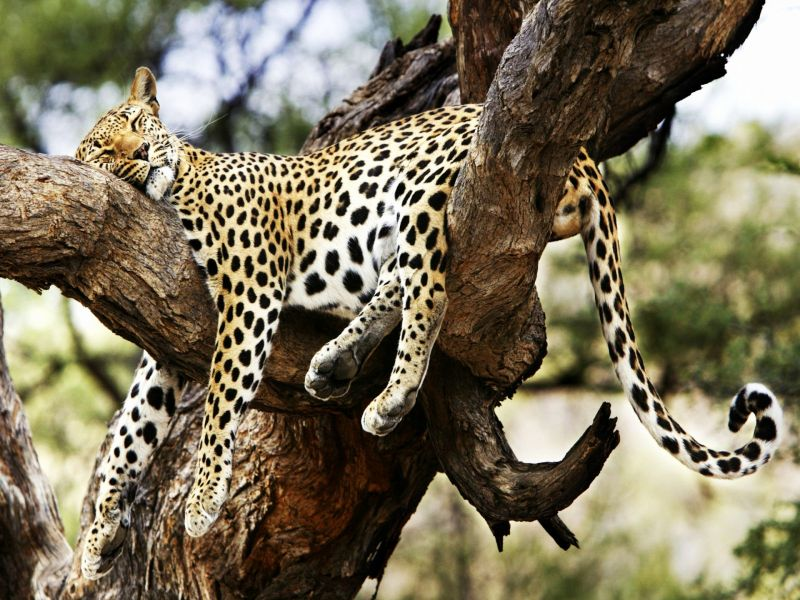 Пазл Собирать пазлы онлайн - Леопард отдыхает