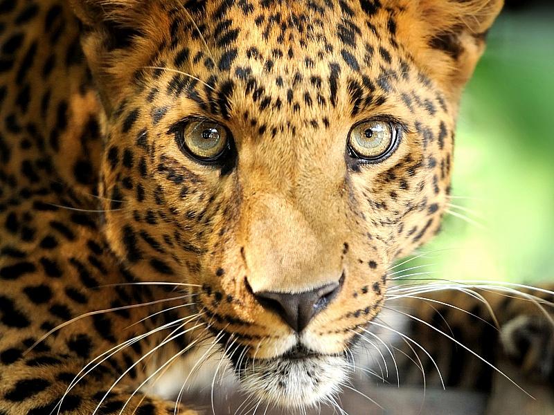 Пазл Собирать пазлы онлайн - Леопард позирует