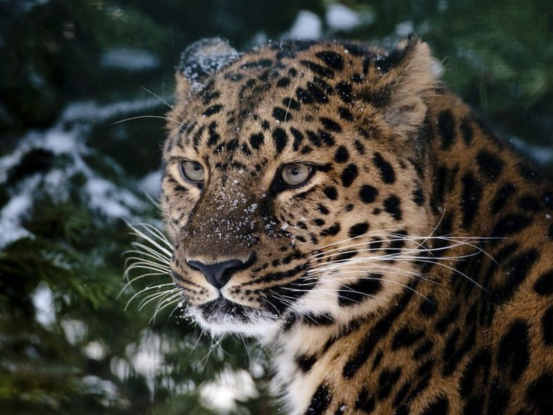 Пазл Собирать пазлы онлайн - Леопард у ели