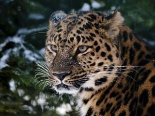 Собирать пазл Леопард у ели онлайн