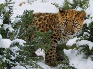 Собирать пазл Леопард зимой онлайн