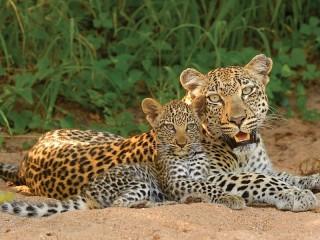 Собирать пазл Леопарды онлайн