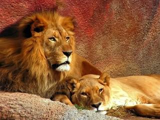 Собирать пазл Лев и львица онлайн