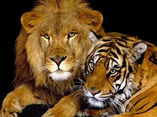 Собирать пазл Лев и тигр онлайн