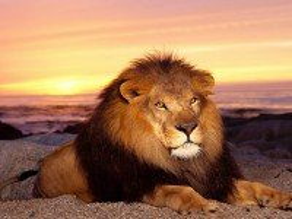 Собирать пазл Лев на берегу моря онлайн