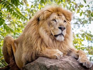 Собирать пазл Лев на камне онлайн