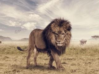 Собирать пазл Лев в саванне онлайн