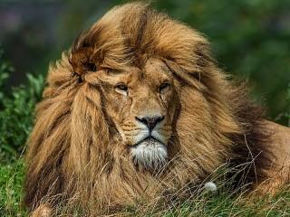 Собирать пазл Лев в траве онлайн