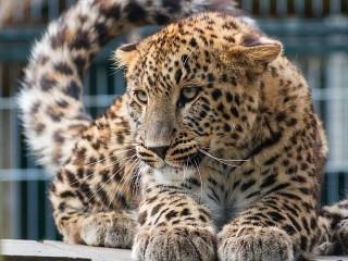 Собирать пазл Лежащий леопард онлайн