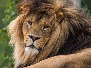 Собирать пазл Лежащий лев онлайн