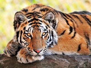Собирать пазл Лежащий тигр онлайн