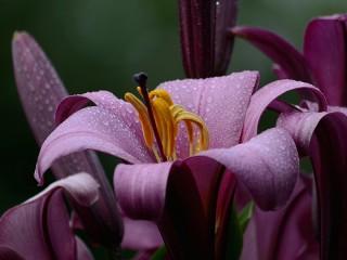 Собирать пазл Лиловые лилии онлайн