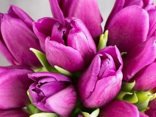 Собирать пазл Лиловые тюльпаны онлайн