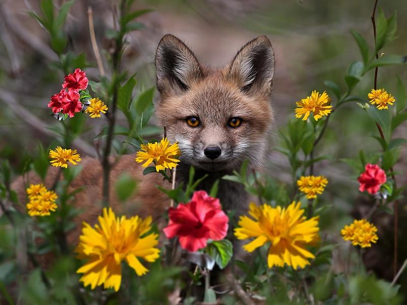 Пазл Собирать пазлы онлайн - Лисенок в цветах