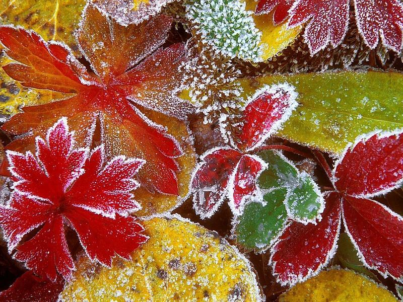 Пазл Собирать пазлы онлайн - Осенние листья в инее