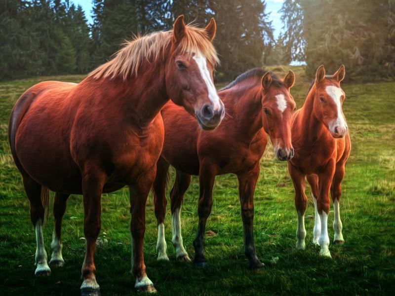 Пазл Собирать пазлы онлайн - Лошади