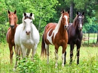 Собирать пазл Лошади онлайн