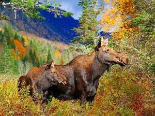Собирать пазл Лоси в лесу онлайн