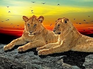 Собирать пазл Львы онлайн