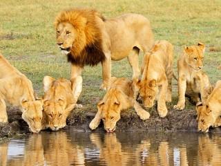 Собирать пазл Львы на водопое онлайн