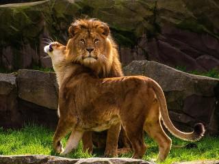 Собирать пазл Львица и лев онлайн