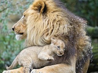 Собирать пазл Львёнок и лев онлайн