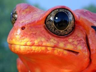 Собирать пазл Лягушка красная онлайн