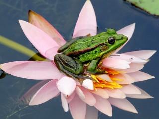 Собирать пазл Лягушка на цветке онлайн