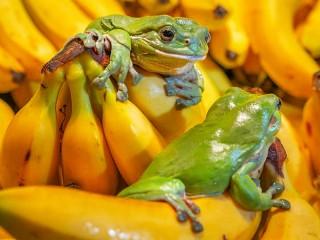 Собирать пазл Лягушки и бананы онлайн