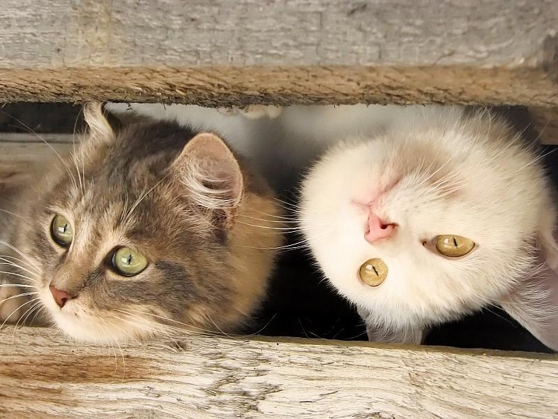 Пазл Собирать пазлы онлайн - Любопытные коты